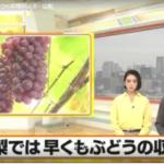 ブドウの名産地、山梨県デラウェアの情報。東京、関西県に出荷予定。
