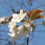 吉野山桜、2019奈良、動画やアクセス(地図)、駐車場等を紹介します。