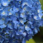 京都植物園あじさい、2021の見どころ等「お祭り情報満載!!」。開花情報&動画や画像の「見える化情報」も見逃すな!!