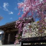 三千院桜、2019京都、アクセス、駐車場等の紹介。